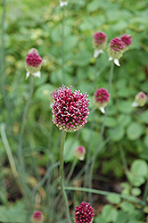 Drumstick Allium (Allium sphaerocephalon) at Hicks Nurseries