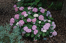 Pink Beauty Hydrangea (Hydrangea macrophylla 'Pink Beauty') at Hicks Nurseries
