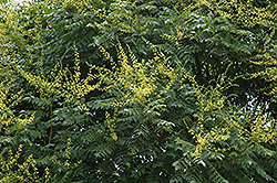 Golden Rain Tree (Koelreuteria paniculata) at Hicks Nurseries