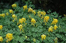 Golden Corydalis (Corydalis lutea) at Hicks Nurseries