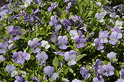 Endurio Sky Blue Martien Pansy (Viola cornuta 'Endurio Sky Blue Martien') at Hicks Nurseries