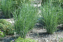 Cloud Nine Switch Grass (Panicum virgatum 'Cloud Nine') at Hicks Nurseries