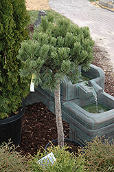 Dwarf Mugo Pine (Pinus mugo 'var. pumilio (tree form)') at Hicks Nurseries