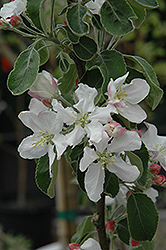 Granny Smith Apple (Malus 'Granny Smith') at Hicks Nurseries