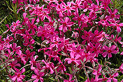Scarlet Flame Moss Phlox (Phlox subulata 'Scarlet Flame') at Hicks Nurseries