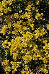 Basket Of Gold Alyssum (Aurinia saxatilis) at Hicks Nurseries