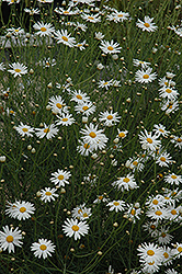 Marguerite Daisy (Argyranthemum gracile) at Hicks Nurseries