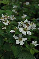 Triple Crown Blackberry (Rubus allegheniensis 'Triple Crown') at Hicks Nurseries