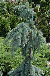 The Blues Colorado Blue Spruce (Picea pungens 'The Blues') at Hicks Nurseries