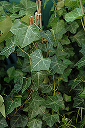 Thorndale Ivy (Hedera helix 'Thorndale') at Hicks Nurseries