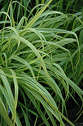 Dallas Blues Switch Grass (Panicum virgatum 'Dallas Blues') at Hicks Nurseries