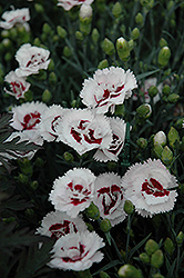 Scent First® Coconut Surprise Pinks (Dianthus 'WP05Yves') at Hicks Nurseries