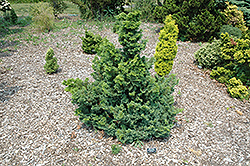 Split Rock Blue Hinoki Falsecypress (Chamaecyparis obtusa 'Split Rock') at Hicks Nurseries
