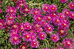 Purple Ice Plant (Delosperma cooperi) at Hicks Nurseries