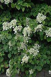 Climbing Hydrangea (Hydrangea anomala 'var. petiolaris') at Hicks Nurseries