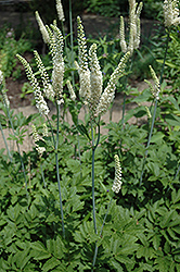 American Bugbane (Cimicifuga racemosa) at Hicks Nurseries
