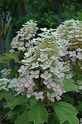 Alice Hydrangea (Hydrangea quercifolia 'Alice') at Hicks Nurseries