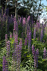 Wild Lupine (Lupinus perennis) at Hicks Nurseries