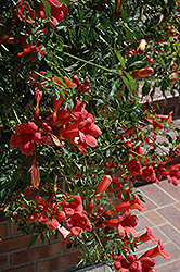 Flamenco Trumpetvine (Campsis radicans 'Flamenco') at Hicks Nurseries
