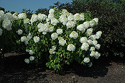 Phantom Hydrangea (Hydrangea paniculata 'Phantom') at Hicks Nurseries