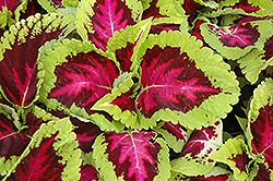 Kong Rose Coleus (Solenostemon scutellarioides 'Kong Rose') at Hicks Nurseries