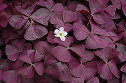 Charmed Wine Shamrock (Oxalis 'Charmed Wine') at Hicks Nurseries