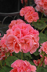 Schoene Helena Geranium (Pelargonium 'Schoene Helena') at Hicks Nurseries