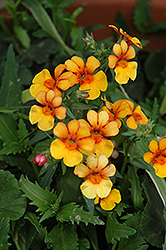Juicy Fruits Kumquat Nemesia (Nemesia 'Juicy Fruits Kumquat') at Hicks Nurseries