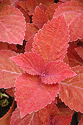 Big Red Judy Coleus (Solenostemon scutellarioides 'Big Red Judy') at Hicks Nurseries