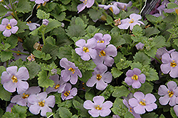 Scopia Gulliver Blue Sensation Bacopa (Sutera cordata 'Scopia Gulliver Blue Sensation') at Hicks Nurseries