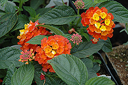 Landmark Citrus Lantana (Lantana camara 'Landmark Citrus') at Hicks Nurseries