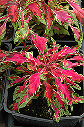Pink Chaos Coleus (Solenostemon scutellarioides 'Pink Chaos') at Hicks Nurseries
