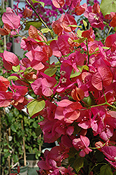 James Walker Bougainvillea (Bougainvillea 'James Walker') at Hicks Nurseries