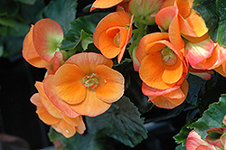 Dark Britt Begonia (Begonia 'Dark Britt') at Hicks Nurseries