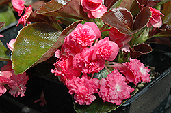 Doublet Rose Begonia (Begonia 'Doublet Rose') at Hicks Nurseries