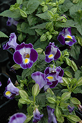 Catalina Midnight Blue Torenia (Torenia 'Catalina Midnight Blue') at Hicks Nurseries