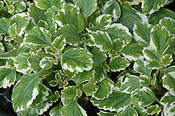 Variegated Spurflower (Plectranthus verticillatus 'Variegata') at Hicks Nurseries