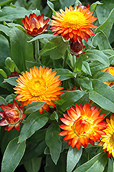 Mohave Autumn Bronze Strawflower (Bracteantha bracteata 'Mohave Autumn Bronze') at Hicks Nurseries