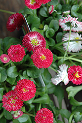 Bellisima Red English Daisy (Bellis perennis 'Bellissima Red') at Hicks Nurseries