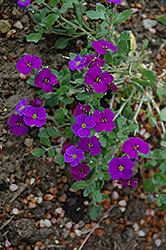 Royal Violet Rock Cress (Aubrieta 'Royal Violet') at Hicks Nurseries