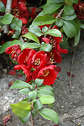 Crimson and Gold Flowering Quince (Chaenomeles x superba 'Crimson and Gold') at Hicks Nurseries