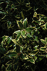 Gold Coast English Holly (Ilex aquifolium 'Monvila') at Hicks Nurseries