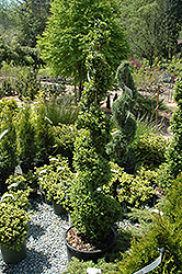 Common Boxwood (spiral) (Buxus sempervirens '(spiral)') at Hicks Nurseries