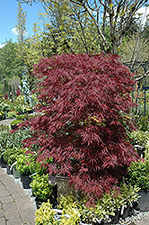 Red Dragon Japanese Maple (Acer palmatum 'Red Dragon') at Hicks Nurseries