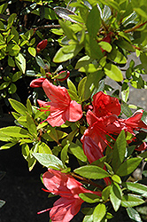Flame Creeper Azalea (Rhododendron 'Flame Creeper') at Hicks Nurseries