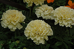 Vanilla Marigold (Tagetes erecta 'Vanilla') at Hicks Nurseries