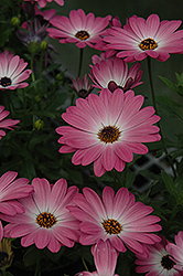 Summertime Pink Charme African Daisy (Osteospermum 'Summertime Pink Charme') at Hicks Nurseries