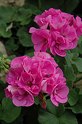 Maestro Lavender Blue Geranium (Pelargonium 'Maestro Lavender Blue') at Hicks Nurseries