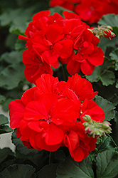 Presto Dark Red Geranium (Pelargonium 'Presto Dark Red') at Hicks Nurseries
