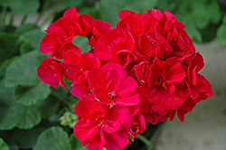 Americana® Cranberry Red Geranium (Pelargonium 'Americana Cranberry Red') at Hicks Nurseries